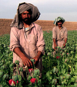 Afghans in poppy field