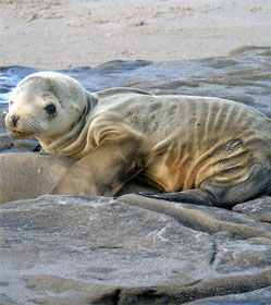 Starving sea lion pup